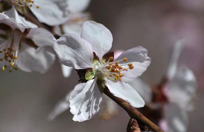 春天到来 杏花盛开