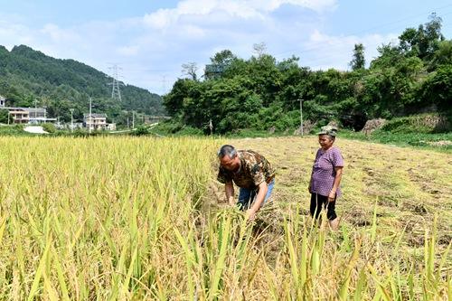 2019年9月13日,在贵州省遵义市红花岗区海龙镇贡米村,基层党员干部陈顺伦(左)利用调查研究间隙帮助村民陈光芬收割水稻。