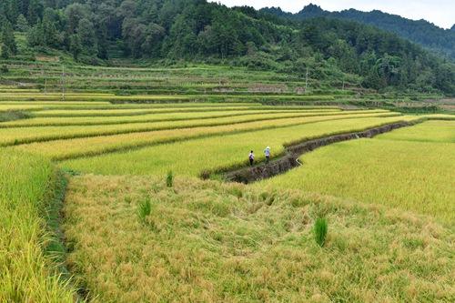 2019年9月13日,在贵州省遵义市红花岗区海龙镇贡米村,两名基层党员干部走在调查研究的田坎上。