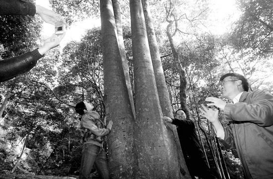 建德市寿昌镇绿荷塘林区近日发现3万多株树龄上百年的名贵植物楠木,品种有红楠、紫楠、米楠、华东楠等。最大的一株楠树王已有300多年历史,其胸径两名成人难以合抱。   有关专家说,建德发现的楠木林面积之大、株数之多、品种之丰富,实属罕见。现在这个市已建立了楠木森林公园,对这片楠木林进行保护。 (记者 钟昊 邵子江 报道组 傅卫权 摄)