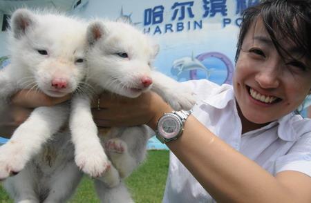 哈尔滨极地馆双胞胎北极狐宝宝亮相(图) (2)