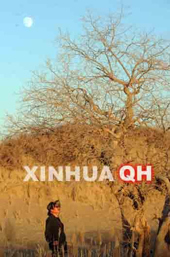 一名游客在胡杨林景区游览.-游客体验青海大漠胡杨中的别样风情