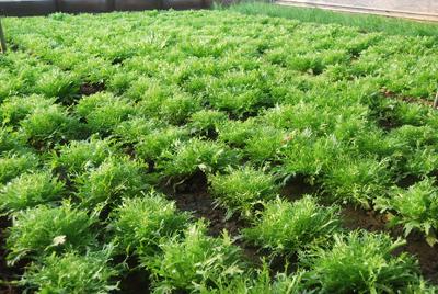 苦苣施用有机肥的方法