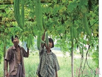 英德市东华镇2010年农民价格增26倍苦瓜快速城潮阳美食棉汕头图片
