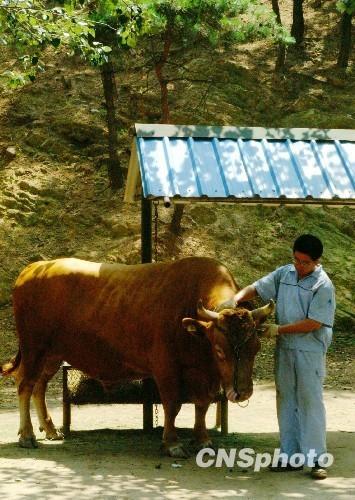 """""""中国第一牛""""亮相大连森林动物园"""